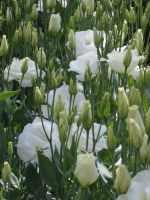 White Lisianthus flowers