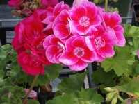 Geranium plant in flower