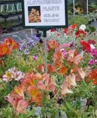 Alstroemeria plants for sale